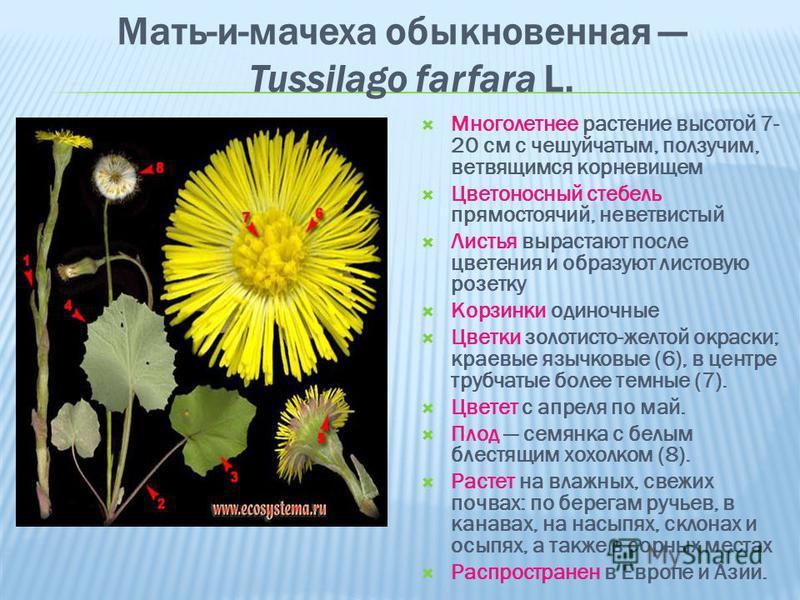 Мать-и-мачеха обыкновенная Tussilago farfara L. Многолетнее растение высотой 7- 20 см с чешуйчатым, ползучим, ветвящимся корневищем Цветоносный стебель прямостоячий, не ветвистый Листья вырастают после цветения и образуют листовую розетку Корзинки од