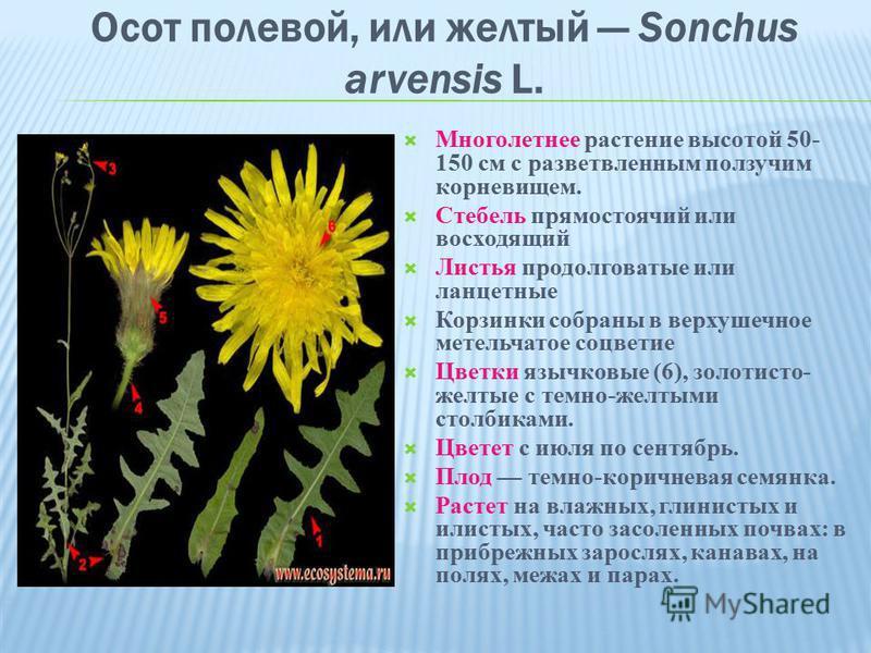 Осот полевой, или желтый Sonchus arvensis L. Многолетнее растение высотой 50- 150 см с разветвленным ползучим корневищем. Стебель прямостоячий или восходящий Листья продолговатые или ланцетные Корзинки собраны в верхушечное метельчатое соцветие Цветк