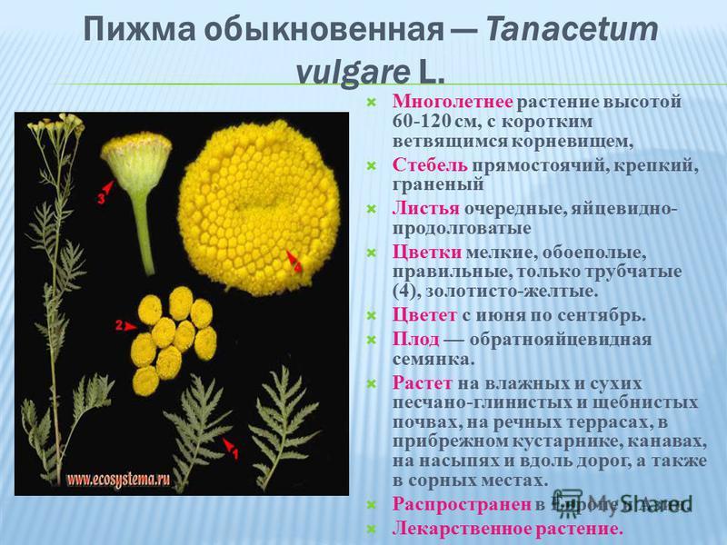 Пижма обыкновенная Tanacetum vulgare L. Многолетнее растение высотой 60-120 см, с коротким ветвящимся корневищем, Стебель прямостоячий, крепкий, граненый Листья очередные, яйцевидно- продолговатые Цветки мелкие, обоеполые, правильные, только трубчаты