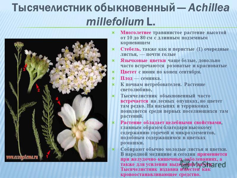 Тысячелистник обыкновенный Achillea millefolium L. Многолетнее травянистое растение высотой от 10 до 80 см с длинным подземным корневищем Стебель, также как и перистые (1) очередные листья, почти голые Язычковые цветки чаще белые, довольно часто встр