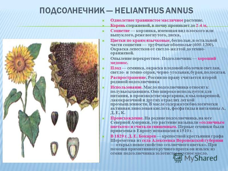 ПОДСОЛНЕЧНИК HELIANTHUS ANNUS Однолетнее травянистое масличное растение. Корень стержневой, в почву проникает до 2-4 м, Соцветие корзинка, имеющая вид плоского или выпуклого, реже вогнутого, диска, Цветки по краям язычковые, бесполые, в остальной час