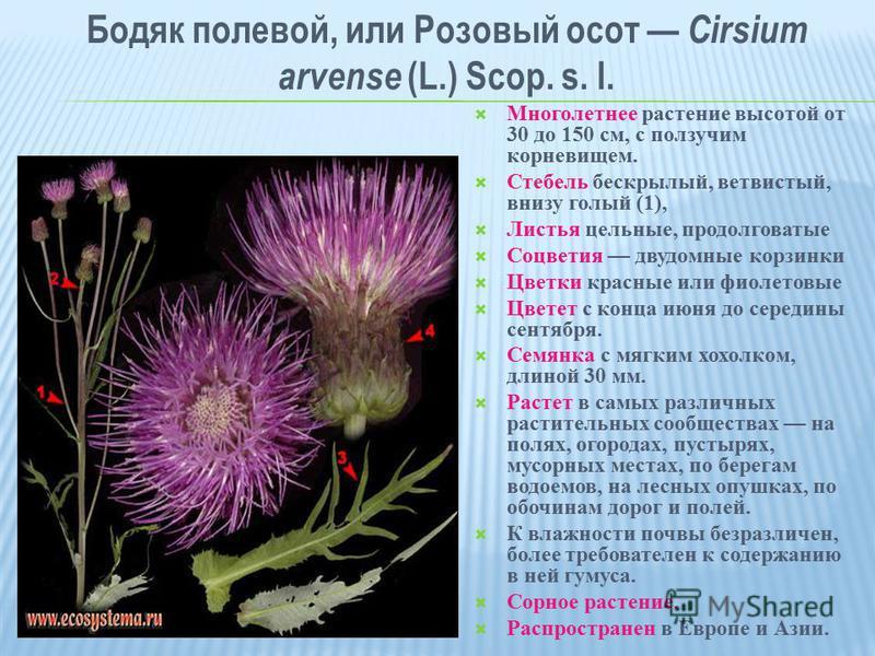 Бодяк полевой, или Розовый осот Cirsium arvense (L.) Scop. s. l. Многолетнее растение высотой от 30 до 150 см, с ползучим корневищем. Стебель бескрылый, ветвистый, внизу голый (1), Листья цельные, продолговатые Соцветия двудомные корзинки Цветки крас