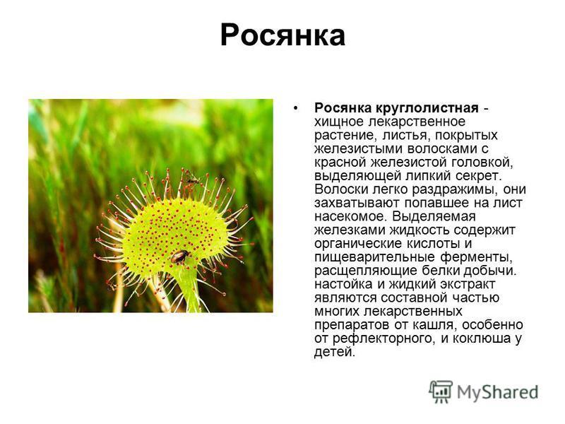 Росянка Росянка круглолистная - хищное лекарственное растение, листья, покрытых железистыми волосками с красной железистой головкой, выделяющей липкий секрет. Волоски легко раздражимы, они захватывают попавшее на лист насекомое. Выделяемая железками