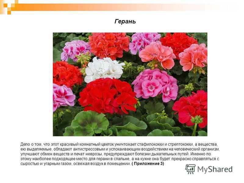 Дело о том, что этот красивый комнатный цветок уничтожает стафилококки и стрептококки, а вещества, ею выделяемые, обладают антистрессовым и успокаивающим воздействием на человеческий организм, улучшают обмен веществ и лечат неврозы, предупреждают бол