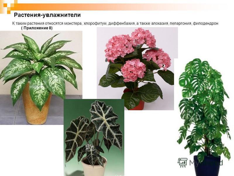 Растения-увлажнители К таким растения относятся монстера, хлорофитум, диффенбахия, а также алоказия, пеларгония, филодендрон ( Приложение 8)