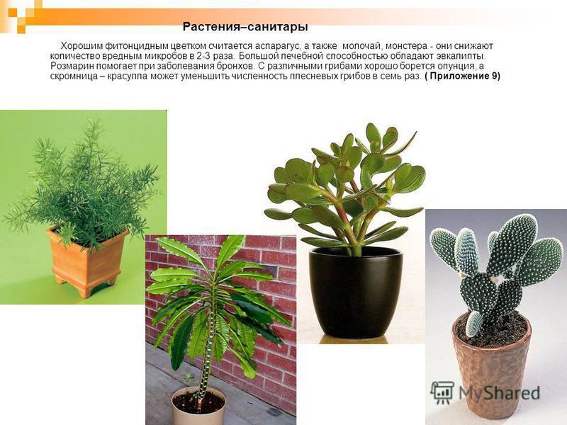 Растения–санитары Хорошим фитонцидным цветком считается аспарагус, а также молочай, монстера - они снижают количество вредным микробов в 2-3 раза. Большой лечебной способностью обладают эвкалипты. Розмарин помогает при заболевания бронхов. С различны