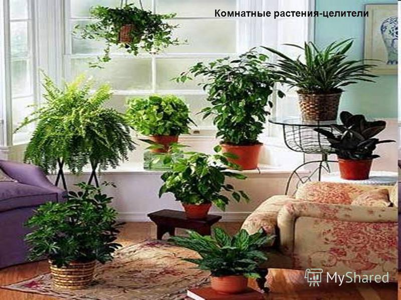 Комнатные растения-целители