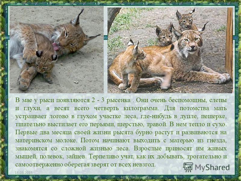 В мае у рыси появляются 2 - 3 рысенка. Они очень беспомощны, слепы и глухи, а весят всего четверть килограмма. Для потомства мать устраивает логово в глухом участке леса, где-нибудь в дупле, пещерке, тщательно выстилает его перьями, шерстью, травой.