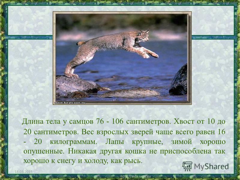 Длина тела у самцов 76 - 106 сантиметров. Хвост от 10 до 20 сантиметров. Вес взрослых зверей чаще всего равен 16 - 20 килограммам. Лапы крупные, зимой хорошо опушенные. Никакая другая кошка не приспособлена так хорошо к снегу и холоду, как рысь. 18.0