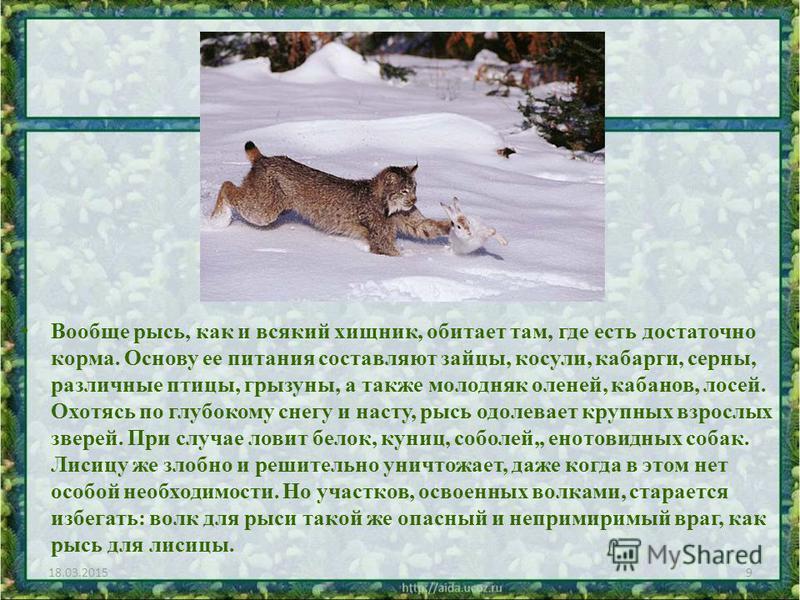 Вообще рысь, как и всякий хищник, обитает там, где есть достаточно корма. Основу ее питания составляют зайцы, косули, кабарги, серны, различные птицы, грызуны, а также молодняк оленей, кабанов, лосей. Охотясь по глубокому снегу и насту, рысь одолевае