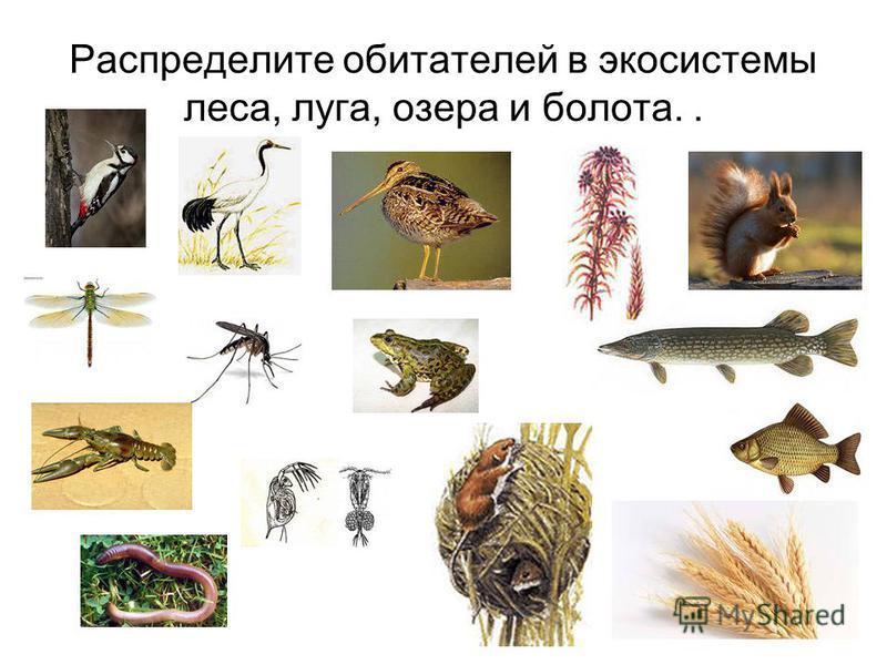 Распределите обитателей в экосистемы леса, луга, озера и болота..