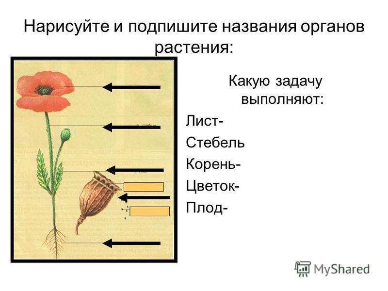 Нарисуйте и подпишите названия органов растения: Какую задачу выполняют: Лист- Стебель Корень- Цветок- Плод-