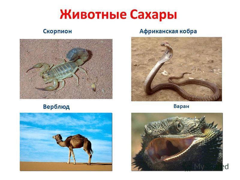 Животные Сахары Скорпион Верблюд Варан Африканская кобра