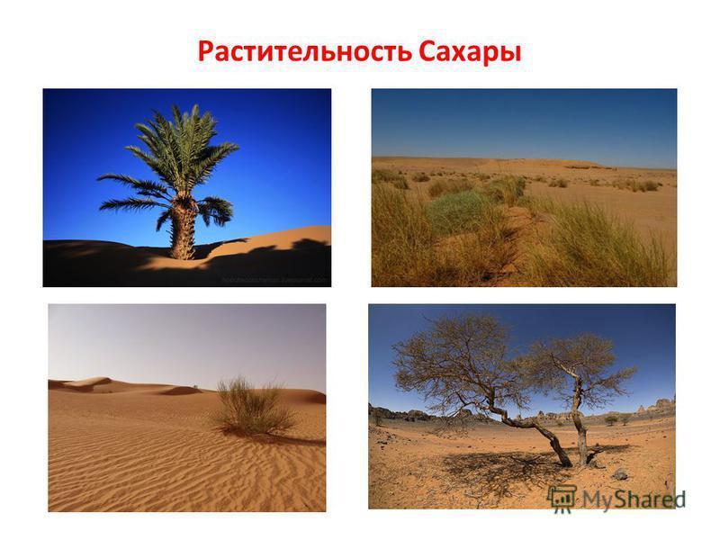 Растительность Сахары