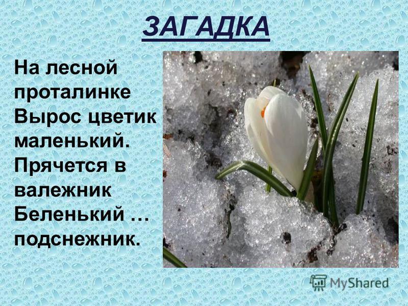 ЗАГАДКА На лесной проталинке Вырос цветик маленький. Прячется в валежник Беленький … подснежник.
