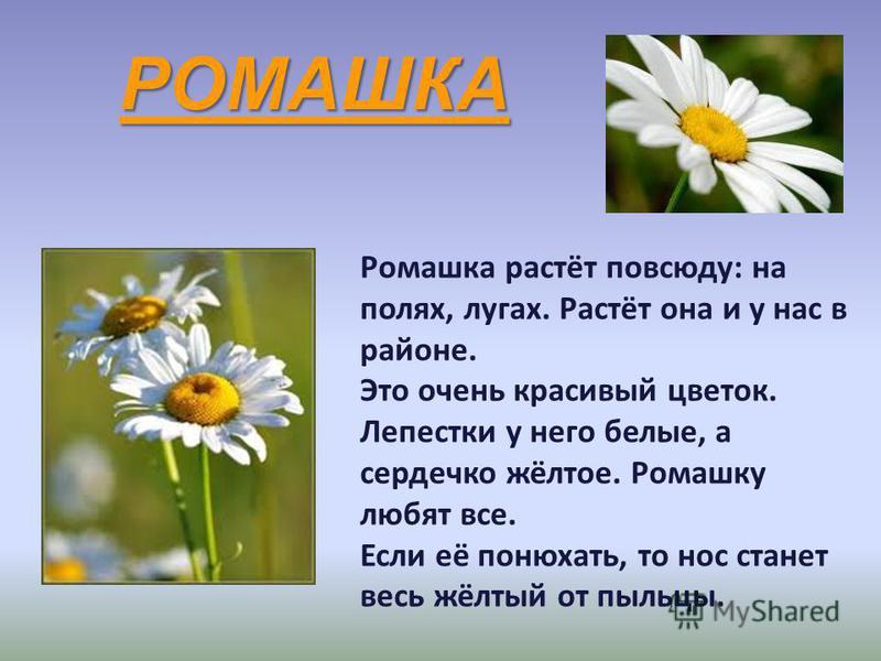 РОМАШКА Ромашка растёт повсюду: на полях, лугах. Растёт она и у нас в районе. Это очень красивый цветок. Лепестки у него белые, а сердечко жёлтое. Ромашку любят все. Если её понюхать, то нос станет весь жёлтый от пыльцы.