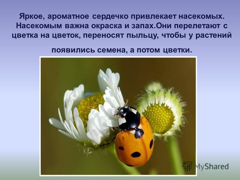 Яркое, ароматное сердечко привлекает насекомых. Насекомым важна окраска и запах.Они перелетают с цветка на цветок, переносят пыльцу, чтобы у растений появились семена, а потом цветки.