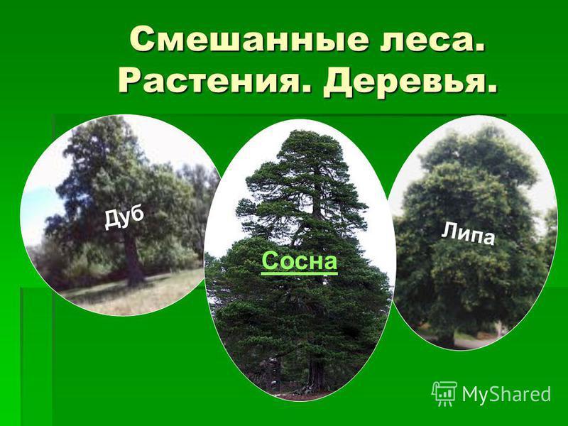 Смешанные леса. Растения. Деревья. Д у б Л и п а Сосна