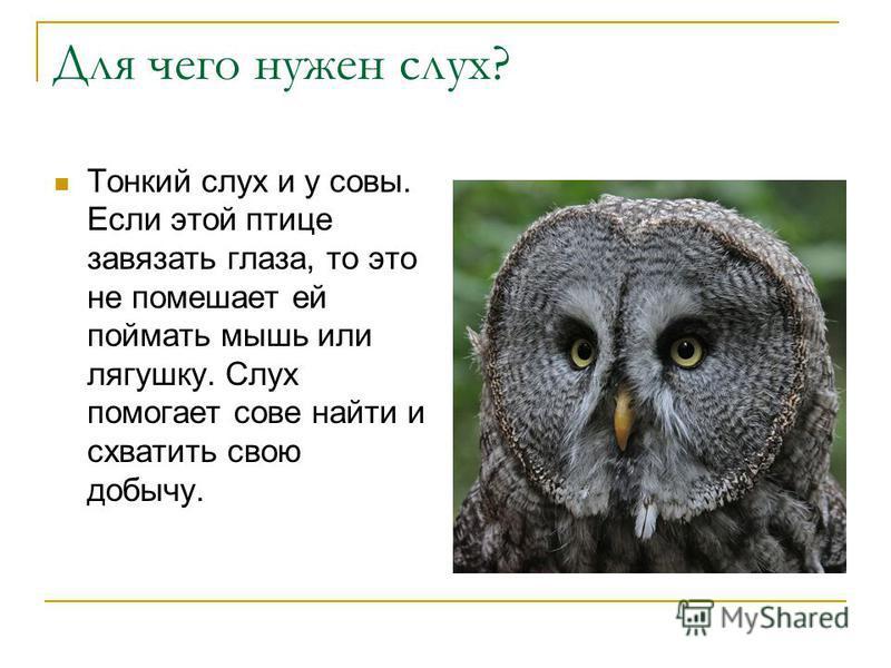 Для чего нужен слух? Тонкий слух и у совы. Если этой птице завязать глаза, то это не помешает ей поймать мышь или лягушку. Слух помогает сове найти и схватить свою добычу.