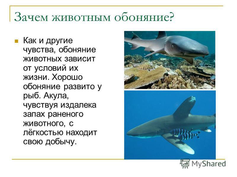 Зачем животным обоняние? Как и другие чувства, обоняние животных зависит от условий их жизни. Хорошо обоняние развито у рыб. Акула, чувствуя издалека запах раненого животного, с лёгкостью находит свою добычу.