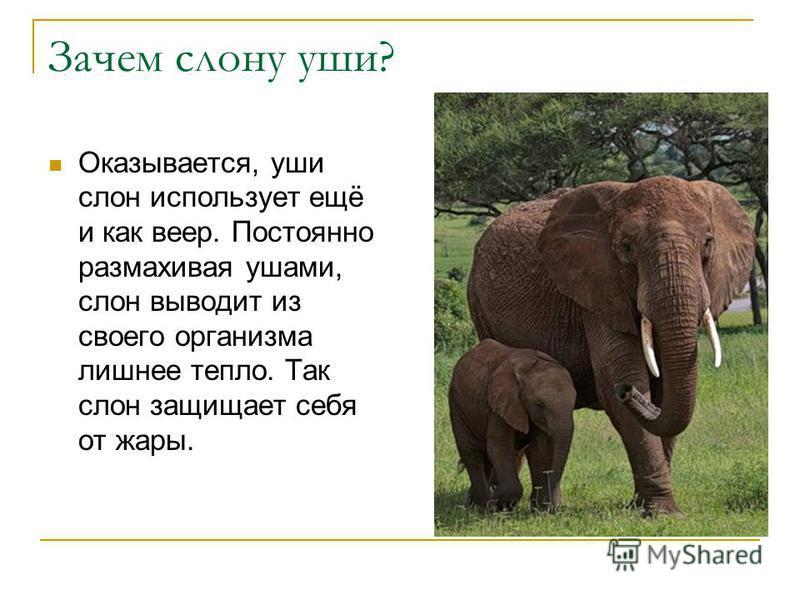 Зачем слону уши? Оказывается, уши слон использует ещё и как веер. Постоянно размахивая ушами, слон выводит из своего организма лишнее тепло. Так слон защищает себя от жары.