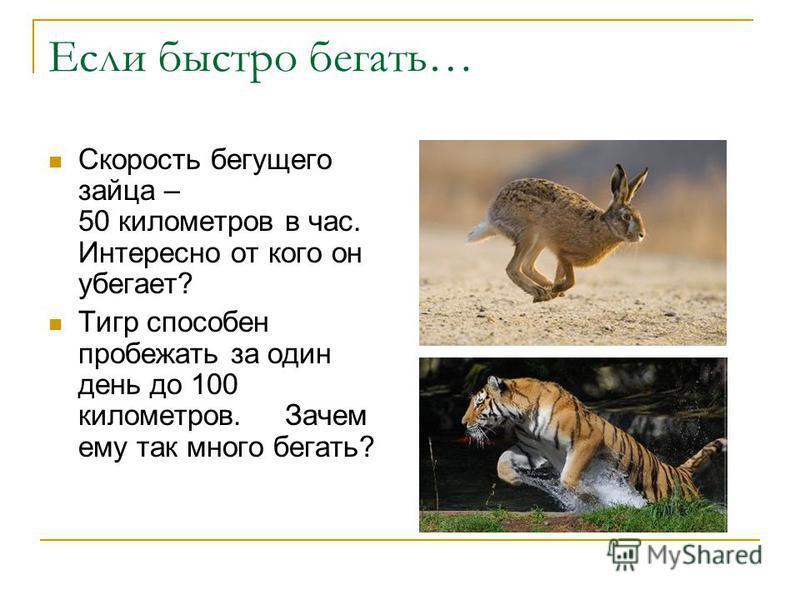 Если быстро бегать… Скорость бегущего зайца – 50 километров в час. Интересно от кого он убегает? Тигр способен пробежать за один день до 100 километров. Зачем ему так много бегать?