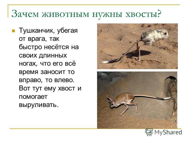 Зачем животным нужны хвосты? Тушканчик, убегая от врага, так быстро несётся на своих длинных ногах, что его всё время заносит то вправо, то влево. Вот тут ему хвост и помогает выруливать.