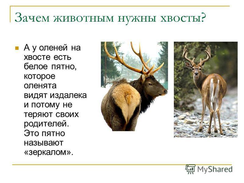 Зачем животным нужны хвосты? А у оленей на хвосте есть белое пятно, которое оленята видят издалека и потому не теряют своих родителей. Это пятно называют «зеркалом».