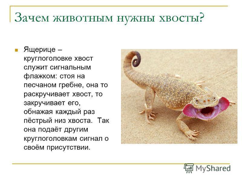 Ящерице – круглоголовке хвост служит сигнальным флажком: стоя на песчаном гребне, она то раскручивает хвост, то закручивает его, обнажая каждый раз пёстрый низ хвоста. Так она подаёт другим круглоголовкам сигнал о своём присутствии. Зачем животным ну