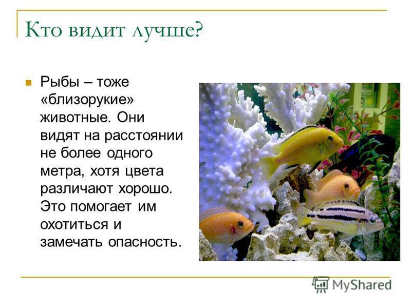 Кто видит лучше? Рыбы – тоже «близорукие» животные. Они видят на расстоянии не более одного метра, хотя цвета различают хорошо. Это помогает им охотиться и замечать опасность.