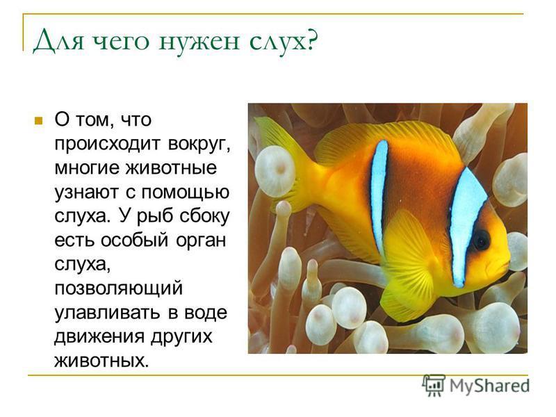 Для чего нужен слух? О том, что происходит вокруг, многие животные узнают с помощью слуха. У рыб сбоку есть особый орган слуха, позволяющий улавливать в воде движения других животных.