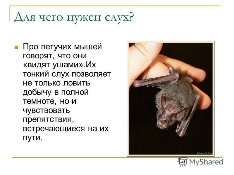 Для чего нужен слух? Про летучих мышей говорят, что они «видят ушами».Их тонкий слух позволяет не только ловить добычу в полной темноте, но и чувствовать препятствия, встречающиеся на их пути.