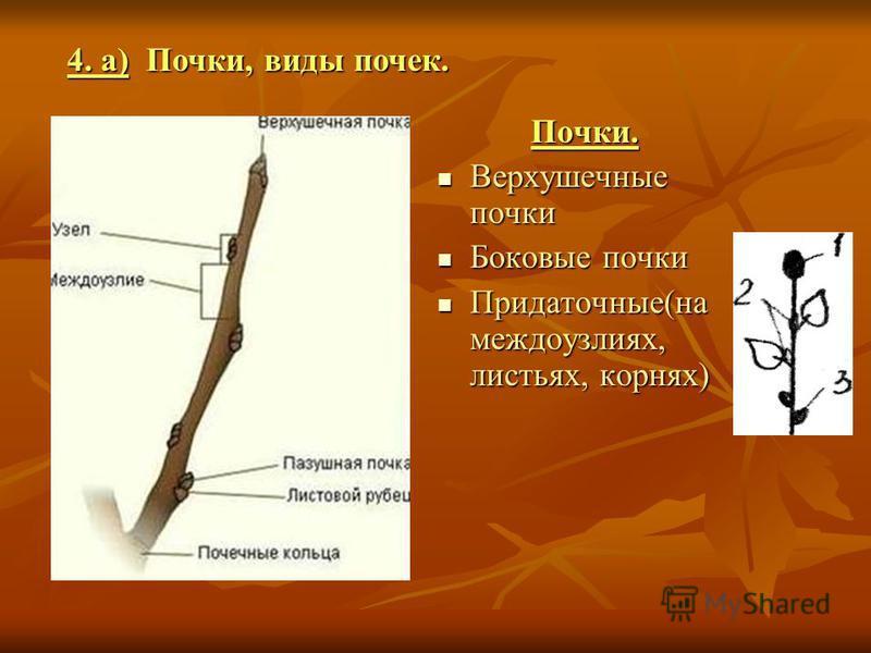 Почки. Верхушечные почки Боновые почки Придаточные(на междоузлиях, листьях, корнях) 4. а) Почки, виды почек.