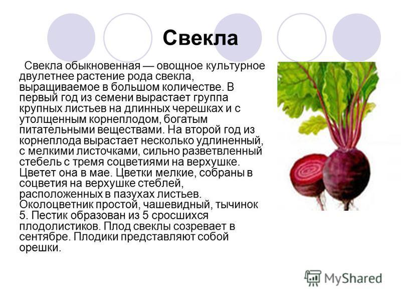 Свекла Свекла обыкновенная овощное культурное двулетнее растение рода свекла, выращиваемое в большом количестве. В первый год из семени вырастает группа крупных листьев на длинных черешках и с утолщенным корнеплодом, богатым питательными веществами.