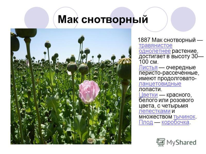 Мак снотворный 1887 Мак снотворный травянистое однолетнее растение, достигает в высоту 30 100 см. Листья очередные перисто-рассечённые, имеют продолговато- ланцетовидные лопасти. Цветки красного, белого или розового цвета, с четырьмя лепестками и мно