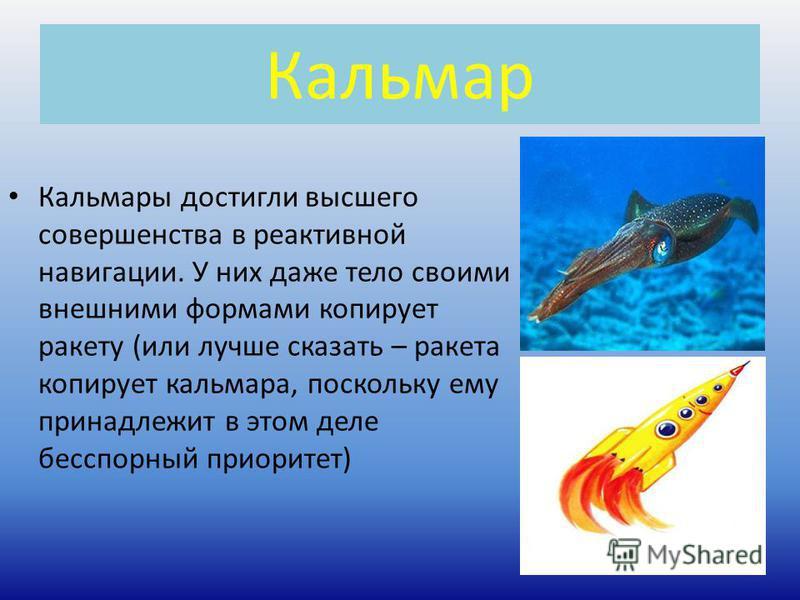 Кальмар Кальмары достигли высшего совершенства в реактивной навигации. У них даже тело своими внешними формами копирует ракету (или лучше сказать – ракета копирует кальмара, поскольку ему принадлежит в этом деле бесспорный приоритет)