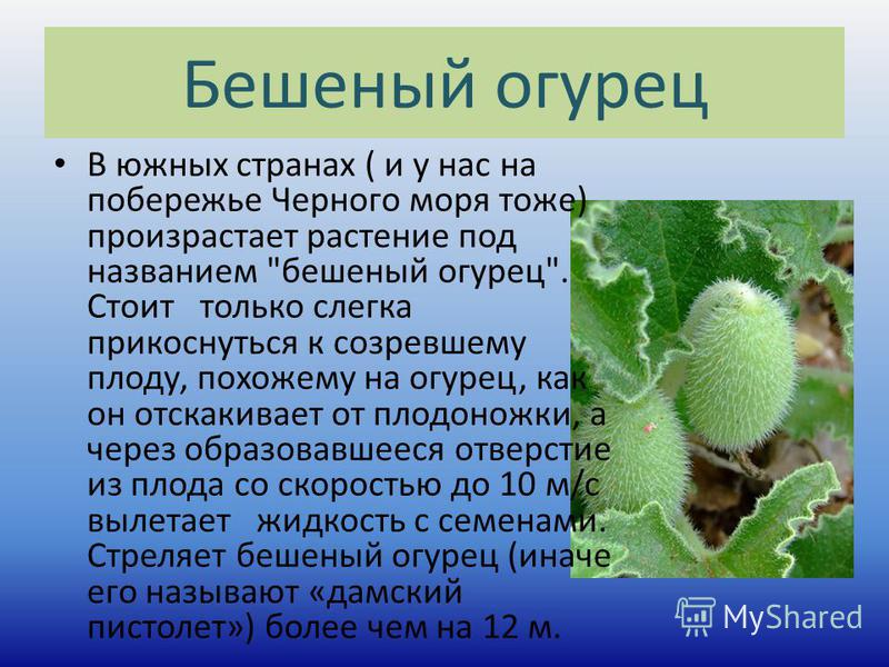 Бешеный огурец В южных странах ( и у нас на побережье Черного моря тоже) произрастает растение под названием