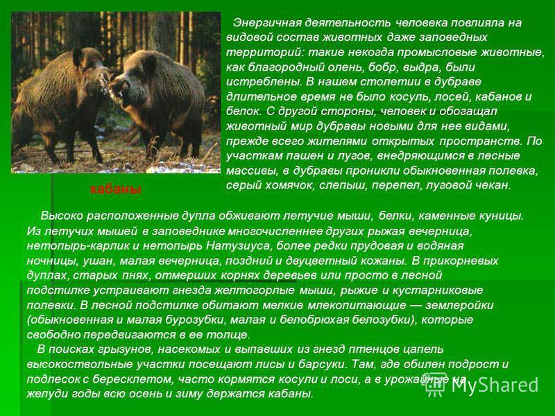 Энергичная деятельность человека повлияла на видовой состав животных даже заповедных территорий: такие некогда промысловые животные, как благородный олень, бобр, выдра, были истреблены. В нашем столетии в дубраве длительное время не было косуль, лосе