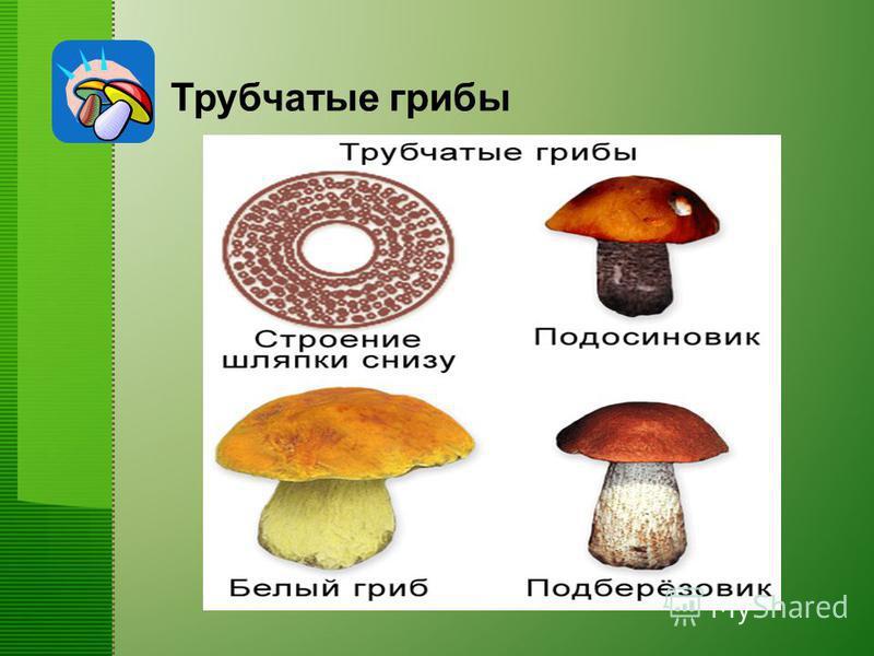 Трубчатые грибы