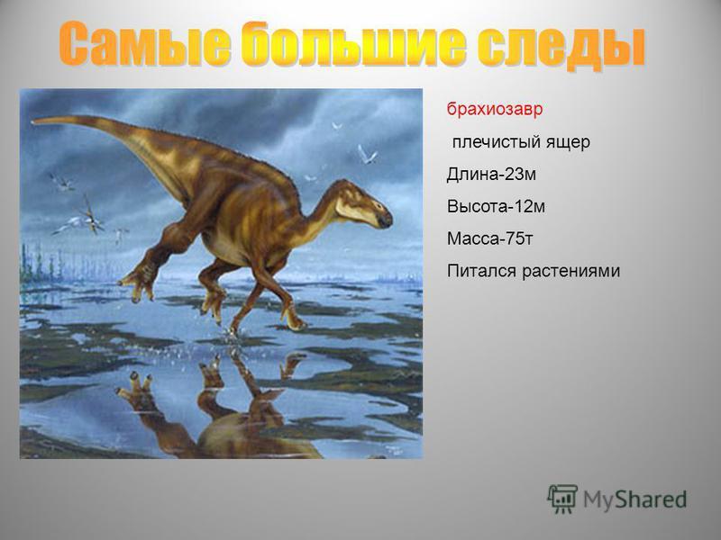 брахиозавр плечистый ящер Длина-23 м Высота-12 м Масса-75 т Питался растениями