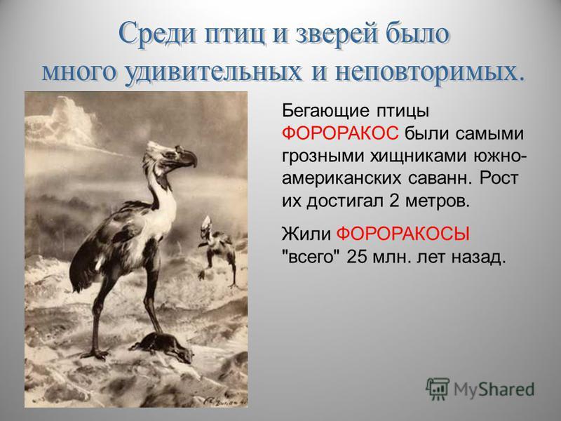 Бегающие птицы ФОРОРАКОС были самыми грозными хищниками южно- американских саванн. Рост их достигал 2 метров. Жили ФОРОРАКОСЫ всего 25 млн. лет назад.
