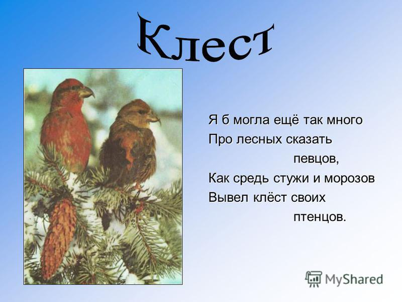 Я б могла ещё так много Про лесных сказать певцов, певцов, Как средь стужи и морозов Вывел клёст своих птенцов. птенцов.