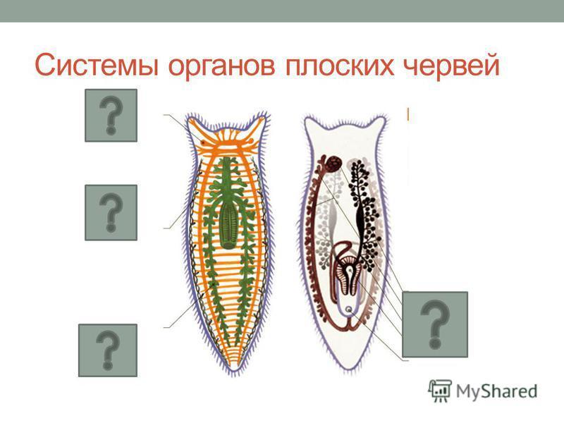 Системы органов плоских червей