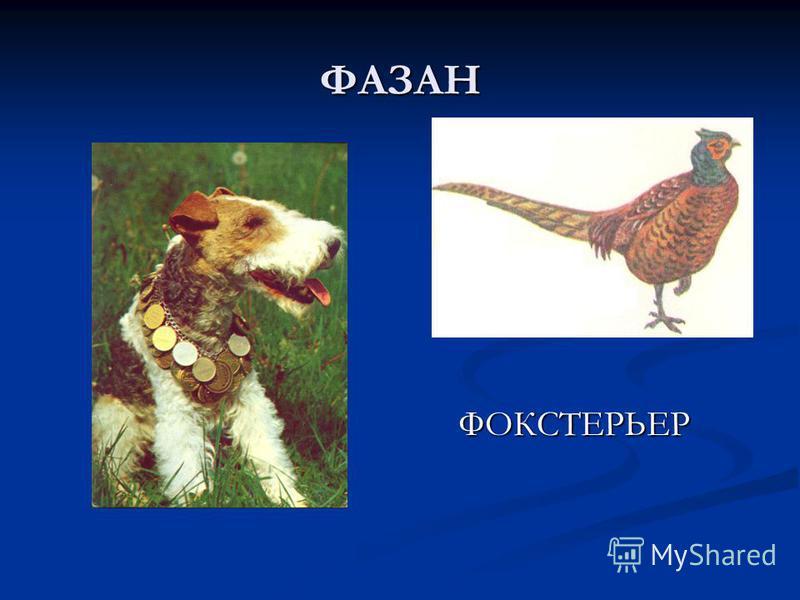ФАЗАН ФОКСТЕРЬЕР ФОКСТЕРЬЕР