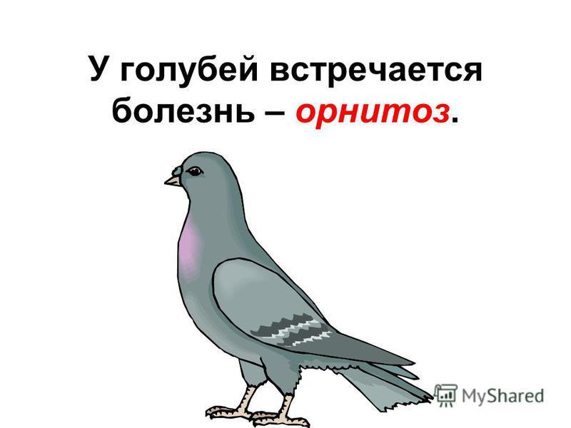 У голубей встречается болезнь – орнитоз.