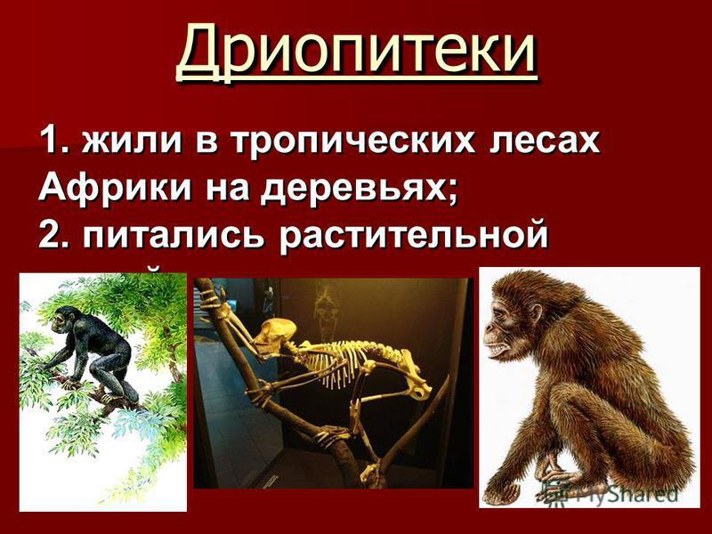 Дриопитеки Дриопитеки 1. жили в тропических лесах Африки на деревьях; 2. питались растительной пищей 1. жили в тропических лесах Африки на деревьях; 2. питались растительной пищей