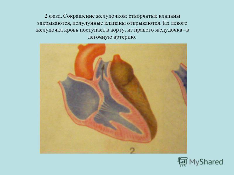 2 фаза. Сокращение желудочков: створчатые клапаны закрываются, полулунные клапаны открываются. Из левого желудочка кровь поступает в аорту, из правого желудочка –в легочную артерию.