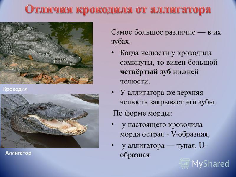 Самое большое различие в их зубах. Когда челюсти у крокодила сомкнуты, то виден большой четвёртый зуб нижней челюсти. У аллигатора же верхняя челюсть закрывает эти зубы. По форме морды: у настоящего крокодила морда острая - V-образная, у аллигатора т