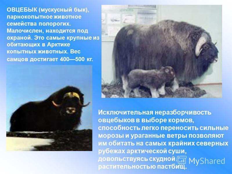 ОВЦЕБЫК (мускусный бык), парнокопытное животное семейства полорогих. Малочислен, находится под охраной. Это самые крупные из обитающих в Арктике копытных животных. Вес самцов достигает 400500 кг. Исключительная неразборчивость овцебыков в выборе корм