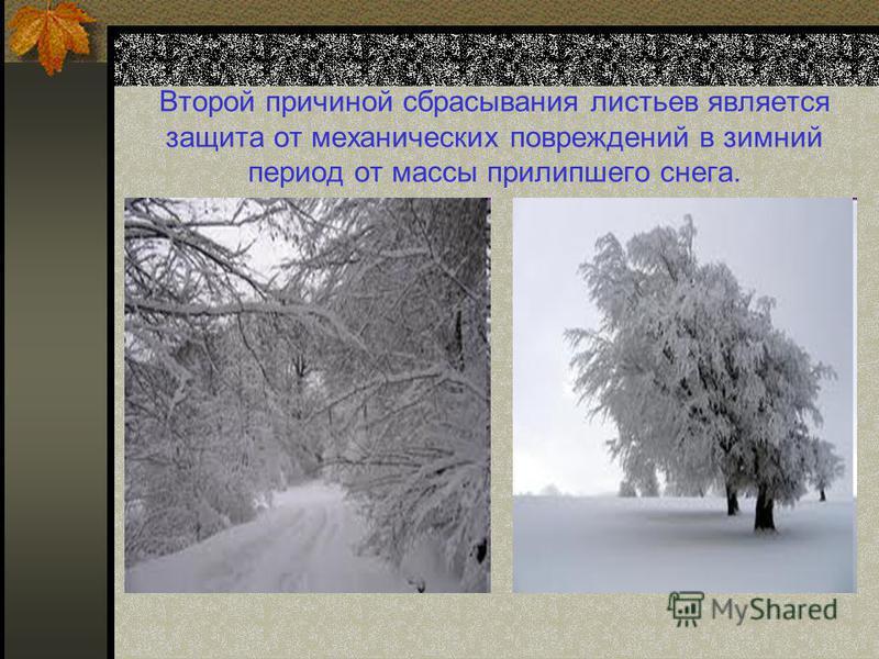 Второй причиной сбрасывания листьев является защита от механических повреждений в зимний период от массы прилипшего снега.